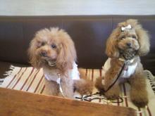 愛犬鈴ちゃん~トイプードル☆ライフスタイル~-2012080814070000.jpg