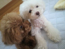 愛犬鈴ちゃん~トイプードル☆ライフスタイル~-2012080907300000.jpg