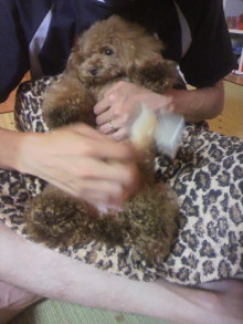 愛犬鈴ちゃん~トイプードル☆ライフスタイル~-2012081121560001.jpg