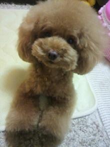 愛犬鈴ちゃん~トイプードル☆ライフスタイル~-2012081122030000.jpg