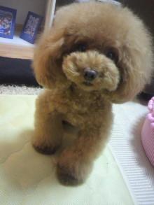愛犬鈴ちゃん~トイプードル☆ライフスタイル~-2012081122020001.jpg
