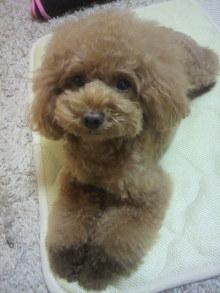 愛犬鈴ちゃん~トイプードル☆ライフスタイル~-2012081121580001.jpg