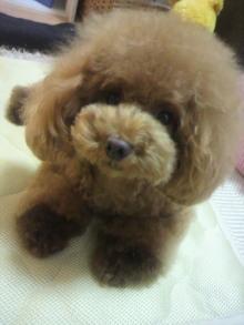 愛犬鈴ちゃん~トイプードル☆ライフスタイル~-2012081122010000.jpg