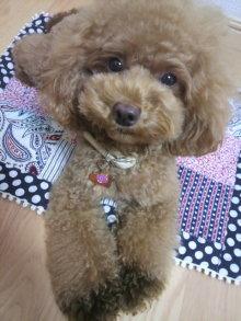 愛犬鈴ちゃん~トイプードル☆ライフスタイル~-2012081303240000.jpg