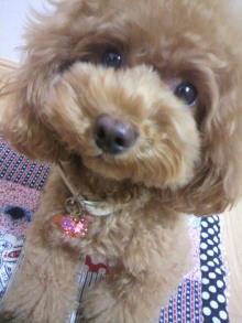 愛犬鈴ちゃん~トイプードル☆ライフスタイル~-2012081303240001.jpg