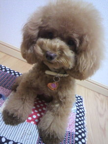 愛犬鈴ちゃん~トイプードル☆ライフスタイル~-2012081303250001.jpg