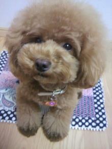 愛犬鈴ちゃん~トイプードル☆ライフスタイル~-2012081303250002.jpg