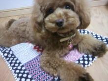 愛犬鈴ちゃん~トイプードル☆ライフスタイル~-2012081303280000.jpg