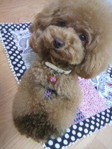 愛犬鈴ちゃん~トイプードル☆ライフスタイル~-2012081303270000.jpg