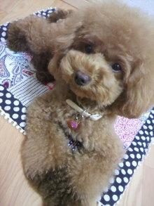 愛犬鈴ちゃん~トイプードル☆ライフスタイル~-2012081303270002.jpg