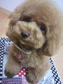 愛犬鈴ちゃん~トイプードル☆ライフスタイル~-2012081303290000.jpg
