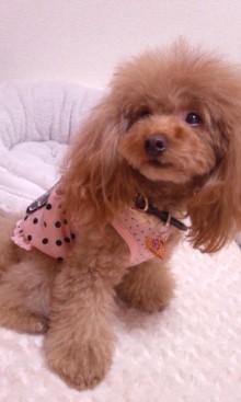 愛犬鈴ちゃん~トイプードル☆ライフスタイル~-DSC_9638.jpg