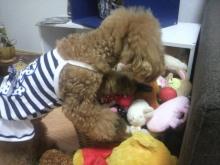 愛犬鈴ちゃん~トイプードル☆ライフスタイル~-2012082012350000.jpg
