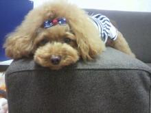 愛犬鈴ちゃん~トイプードル☆ライフスタイル~-2012082012370002.jpg