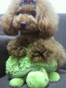 愛犬鈴ちゃん~トイプードル☆ライフスタイル~-2012082012410001.jpg