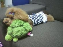 愛犬鈴ちゃん~トイプードル☆ライフスタイル~-2012082012430000.jpg