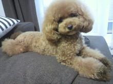 愛犬鈴ちゃん~トイプードル☆ライフスタイル~-2012082217310000.jpg
