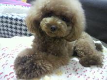 愛犬鈴ちゃん~トイプードル☆ライフスタイル~-2012082217320000.jpg