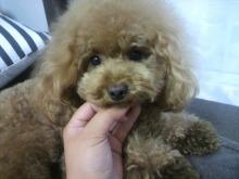 愛犬鈴ちゃん~トイプードル☆ライフスタイル~-2012082217270000.jpg