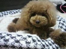 愛犬鈴ちゃん~トイプードル☆ライフスタイル~-2012082217500000.jpg