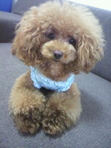 愛犬鈴ちゃん~トイプードル☆ライフスタイル~-2012082909590000.jpg