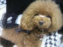 愛犬鈴ちゃん~トイプードル☆ライフスタイル~-2012092610400000.jpg