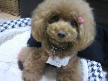 愛犬鈴ちゃん~トイプードル☆ライフスタイル~-2012092610420000.jpg