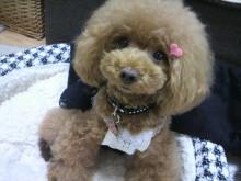 愛犬鈴ちゃん~トイプードル☆ライフスタイル~-2012092610420001.jpg