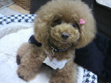 愛犬鈴ちゃん~トイプードル☆ライフスタイル~-2012092610420002.jpg