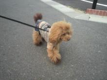 愛犬鈴ちゃん~トイプードル☆ライフスタイル~-2012102712340000.jpg