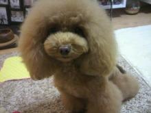 愛犬鈴ちゃん~トイプードル☆ライフスタイル~-2012111721480000.jpg