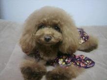 愛犬鈴ちゃん~トイプードル☆ライフスタイル~-2012111722400000.jpg