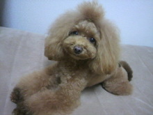愛犬鈴ちゃん~トイプードル☆ライフスタイル~-2012111722520000.jpg