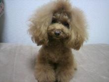 愛犬鈴ちゃん~トイプードル☆ライフスタイル~-2012111722530000.jpg