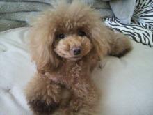 愛犬鈴ちゃん~トイプードル☆ライフスタイル~-2012111810250000.jpg