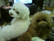愛犬鈴ちゃん~トイプードル☆ライフスタイル~-2012111821120000.jpg