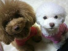 愛犬鈴ちゃん~トイプードル☆ライフスタイル~-2012111920290000.jpg