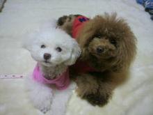 愛犬鈴ちゃん~トイプードル☆ライフスタイル~-2012111920270000.jpg