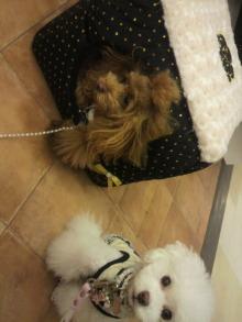 愛犬鈴ちゃん~トイプードル☆ライフスタイル~-2012111414180000.jpg