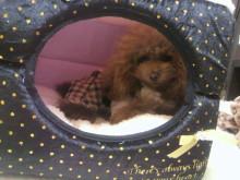 愛犬鈴ちゃん~トイプードル☆ライフスタイル~-2012112221520003.jpg