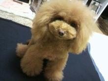 愛犬鈴ちゃん~トイプードル☆ライフスタイル~-2012112319000000.jpg