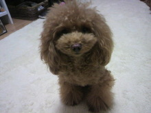 愛犬鈴ちゃん~トイプードル☆ライフスタイル~-2012112318230001.jpg