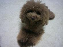 愛犬鈴ちゃん~トイプードル☆ライフスタイル~-2012112318220000.jpg