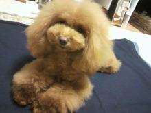 愛犬鈴ちゃん~トイプードル☆ライフスタイル~-2012112319010002.jpg