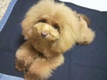 愛犬鈴ちゃん~トイプードル☆ライフスタイル~-2012112319020000.jpg