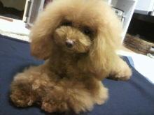 愛犬鈴ちゃん~トイプードル☆ライフスタイル~-2012112319020002.jpg