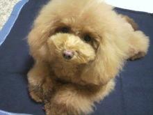 愛犬鈴ちゃん~トイプードル☆ライフスタイル~-2012112319020001.jpg