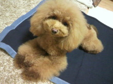 愛犬鈴ちゃん~トイプードル☆ライフスタイル~-2012112319030001.jpg