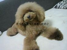 愛犬鈴ちゃん~トイプードル☆ライフスタイル~-2012092411350000.jpg