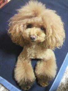 愛犬鈴ちゃん~トイプードル☆ライフスタイル~-2012112817220000.jpg